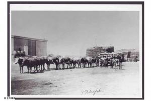 Bullock team at Hammond 1910