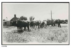 Bullock team at Hammond, 1950.