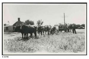 Bullock team at Hammond, 1950.