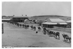 A long camel train with the animals carrying heavy loads arriving at Port Augusta, South Australia 1919