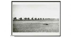 Camel train bringing wool into Farina, 1928
