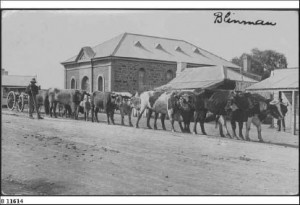 Bullocks haul a wagon through Blinman. Date: about 1904